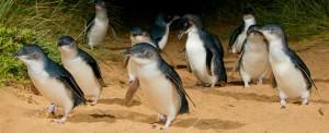 Penguins parade Phillips Island