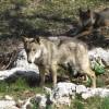 Una giornata per conoscere i lupi